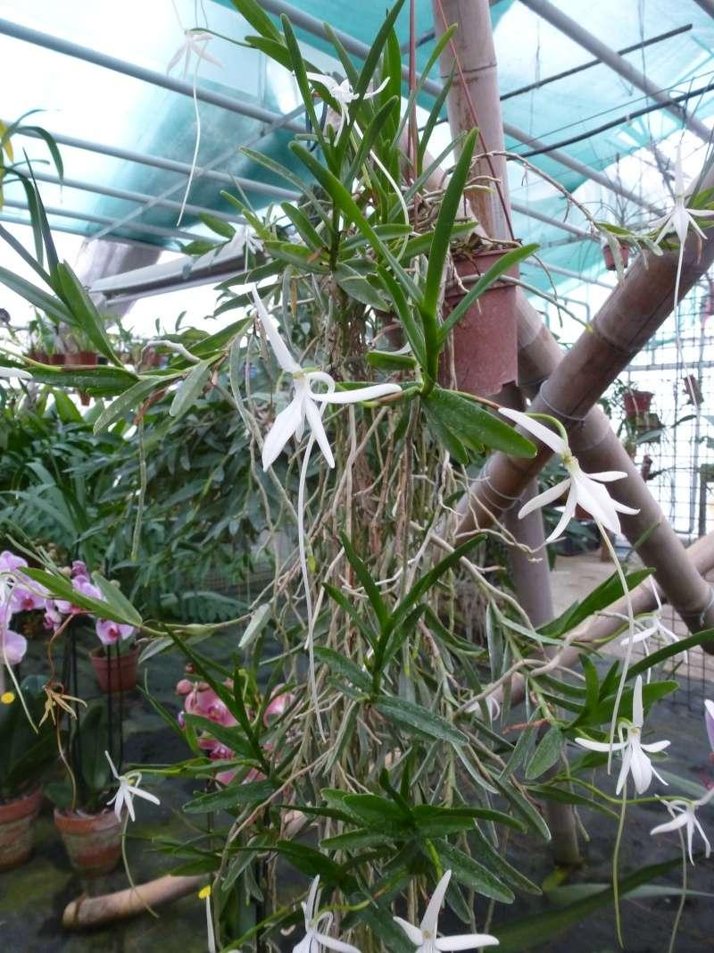 Am Orchidées à Grisy-Suisnes (77)  Jumell10