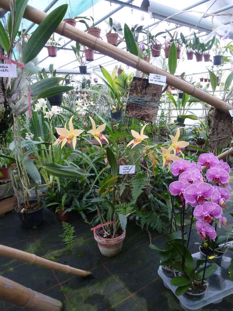 Am Orchidées à Grisy-Suisnes (77)  Laelia11
