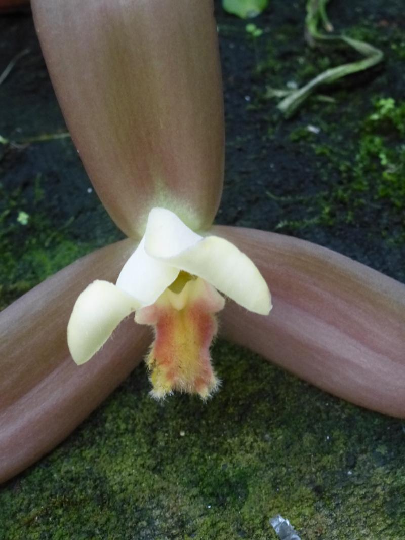 Am Orchidées à Grisy-Suisnes (77)  Lycast10