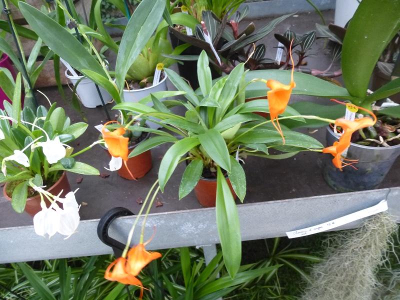Les Orchidées du Val d'Yerres - Brunoy (91) Masdev11
