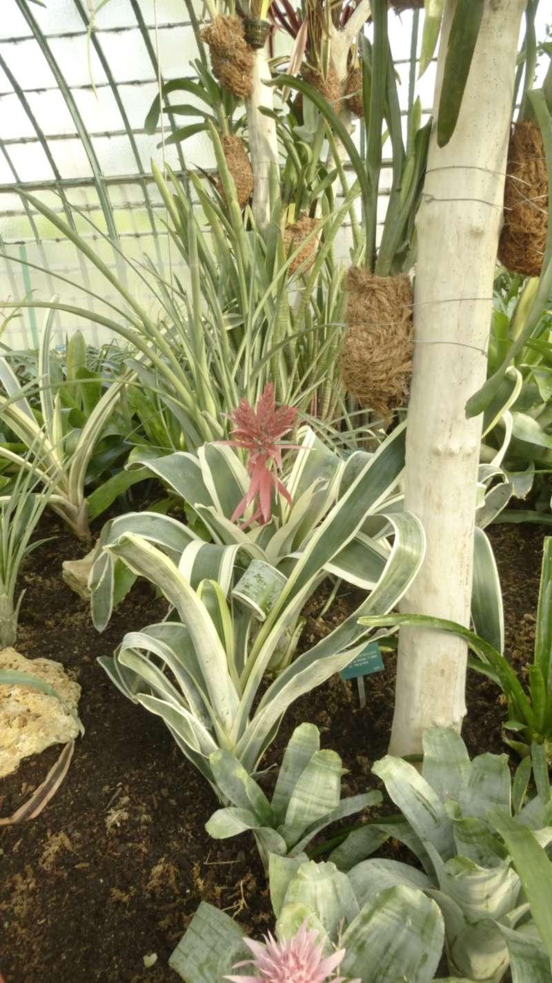 Quelques AECHMEA en fleurs  P1160410