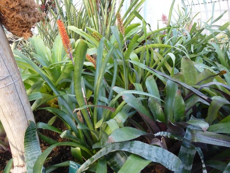 Quelques AECHMEA en fleurs  P1160514