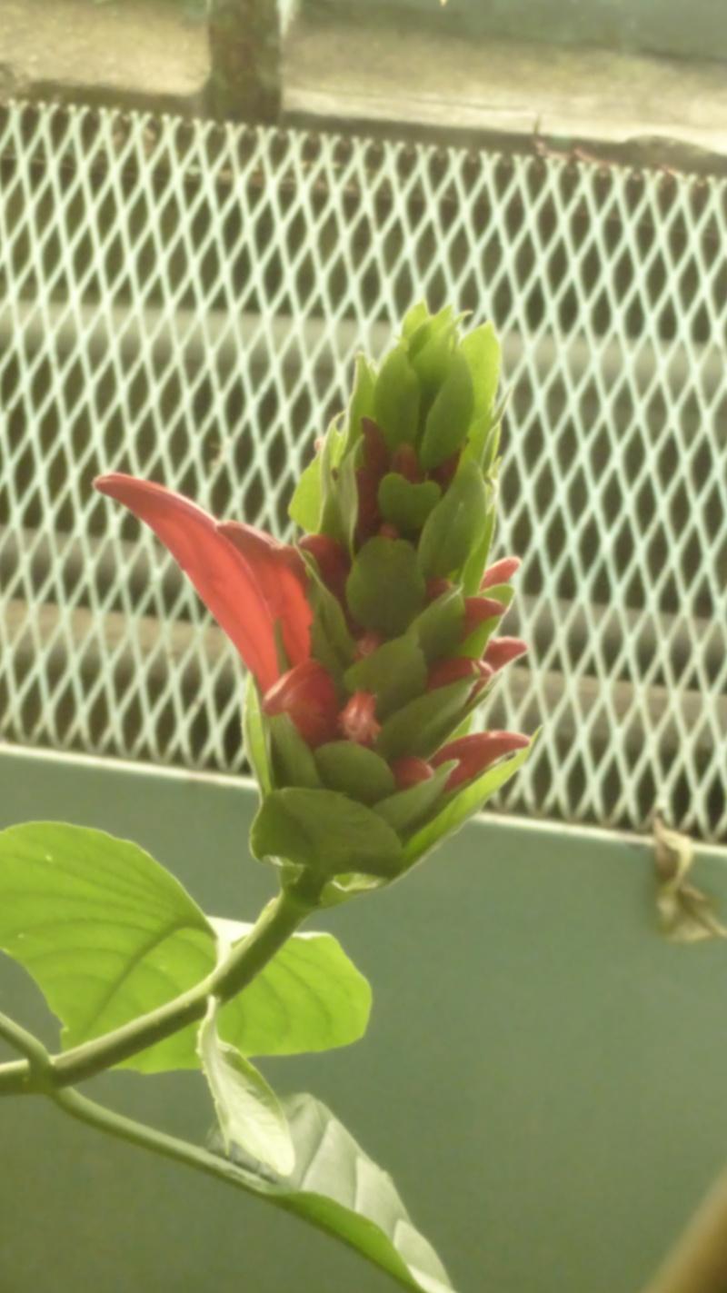 Quelques Acanthaceae en fleurs en ce moment dans les serres  P1160520