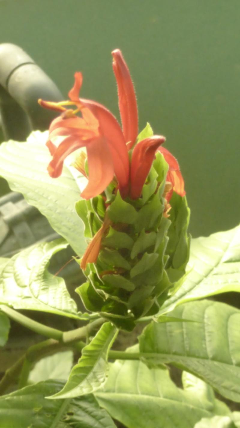 Quelques Acanthaceae en fleurs en ce moment dans les serres  P1160521