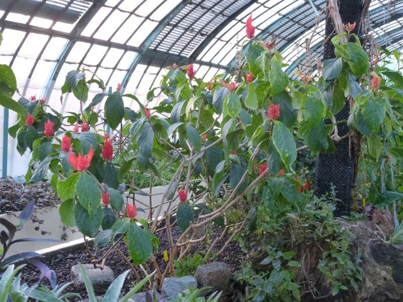 Quelques Acanthaceae en fleurs en ce moment dans les serres  P1160616