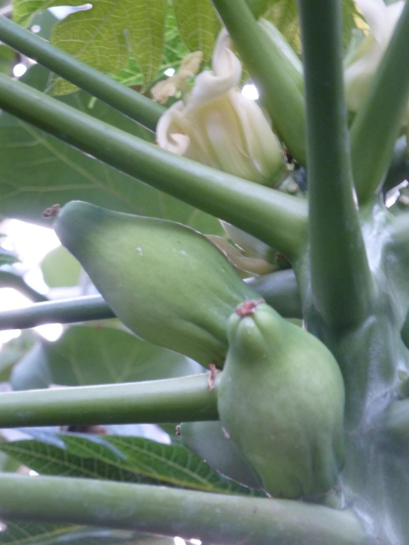Papayers en fleurs  P1160618
