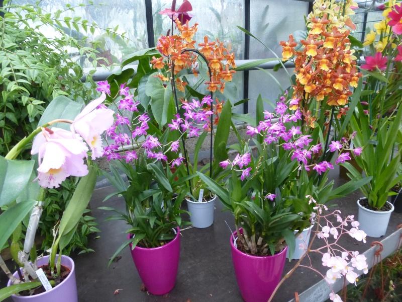 Les Orchidées du Val d'Yerres - Brunoy (91) P1160913