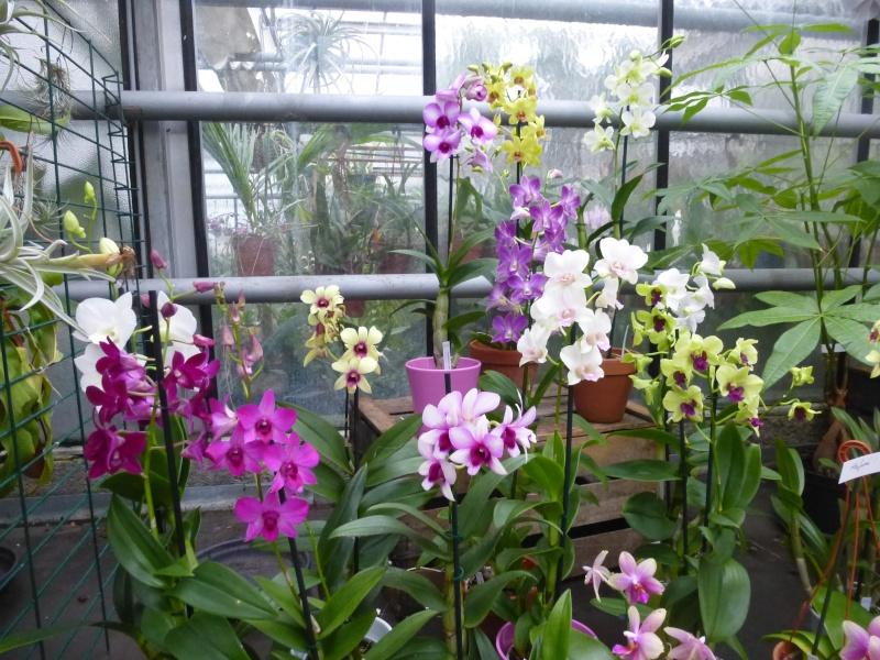 Les Orchidées du Val d'Yerres - Brunoy (91) P1160914