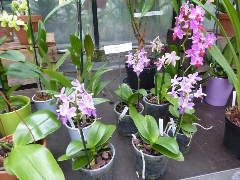 Les Orchidées du Val d'Yerres - Brunoy (91) P1160915