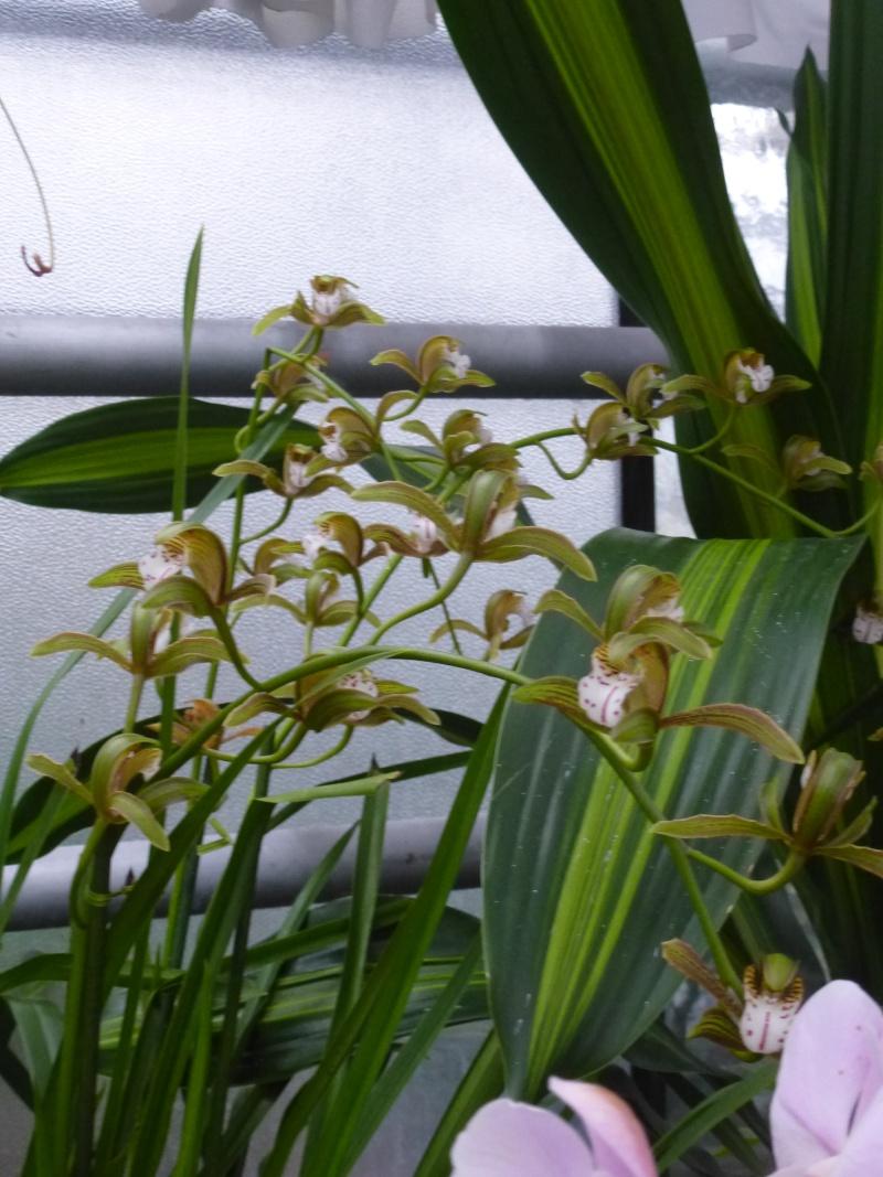 Les Orchidées du Val d'Yerres - Brunoy (91) P1160921