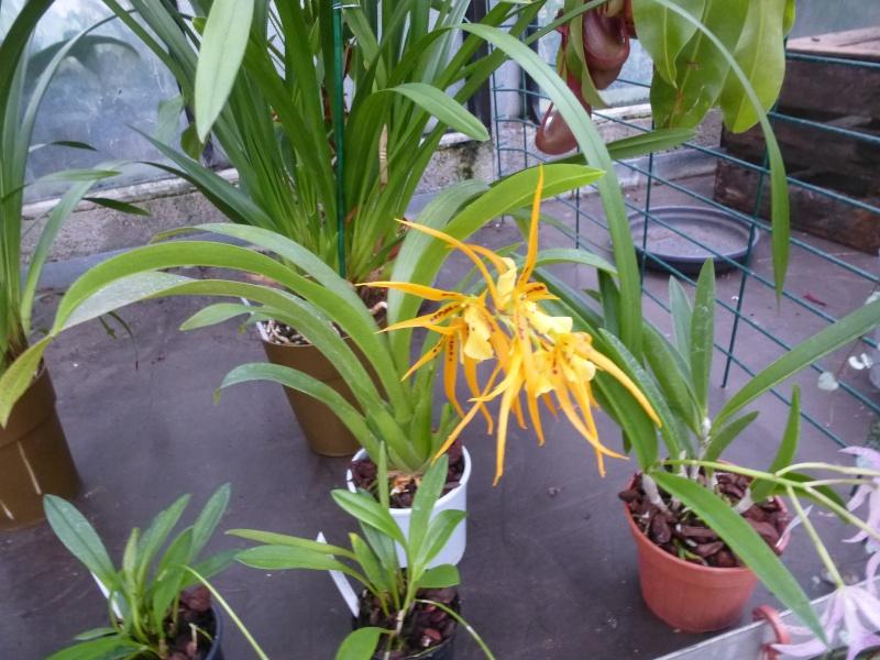 Les Orchidées du Val d'Yerres - Brunoy (91) P1160922