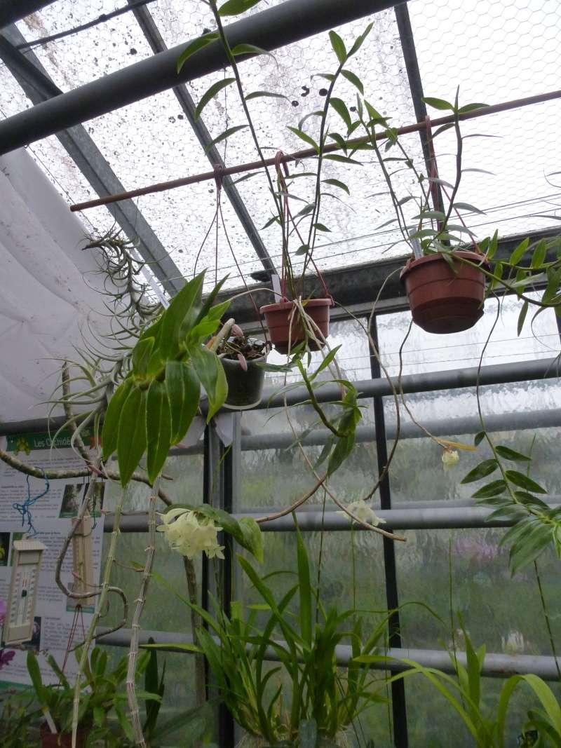 Les Orchidées du Val d'Yerres - Brunoy (91) P1160923