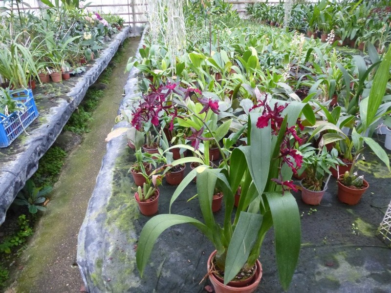 Am Orchidées à Grisy-Suisnes (77)  P1170011