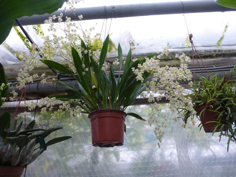Am Orchidées à Grisy-Suisnes (77)  P1170013