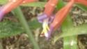 BILLBERGIA ensifolia  P1160715