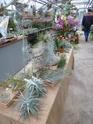 Les tillandsias des orchidées du val d'Yerres  P1160926