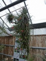 Les tillandsias des orchidées du val d'Yerres  T_albe10