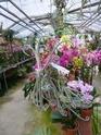 Les tillandsias des orchidées du val d'Yerres  T_durs10
