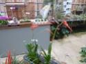 Les tillandsias des orchidées du val d'Yerres  T_dyer10