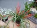 Les tillandsias des orchidées du val d'Yerres  T_flab10