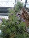 Les tillandsias des orchidées du val d'Yerres  T_iona10