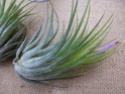 Les tillandsias des orchidées du val d'Yerres  T_kolb10