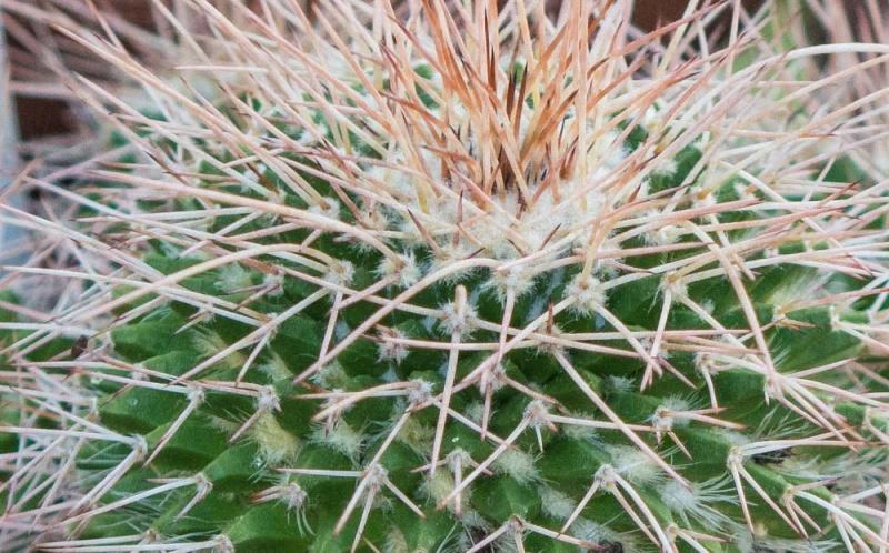 Mammillaria polyedra? Dsc02613