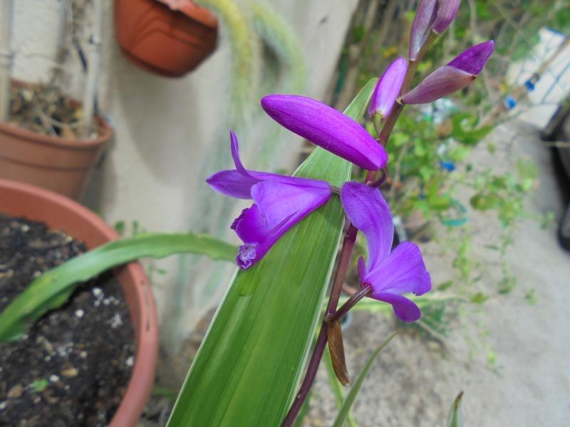 Des orchidées dans vos jardins  - Page 2 Dsc00111