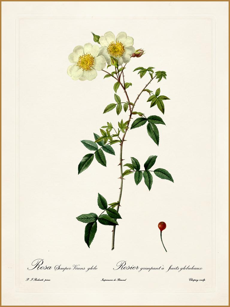 Pierre-Joseph Redouté, « Dessinateur et peintre du cabinet de la Reine » 17427810