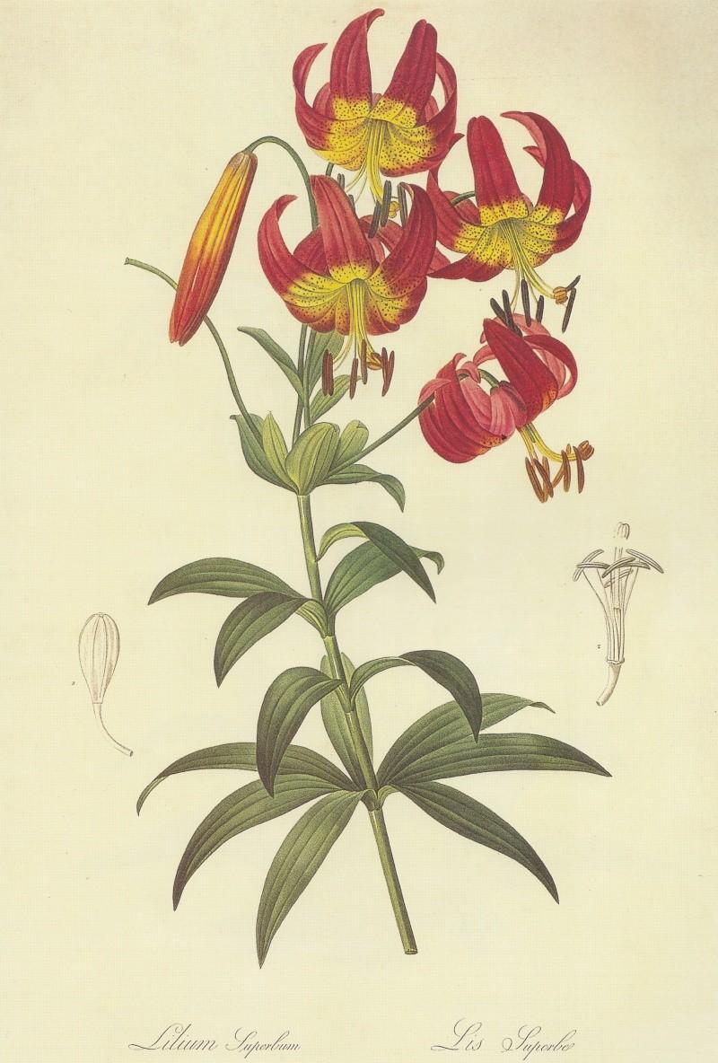 Pierre-Joseph Redouté, « Dessinateur et peintre du cabinet de la Reine » Lilium10