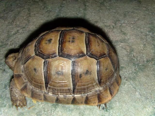 Déterminer l'age d'une tortue? Dvci0013