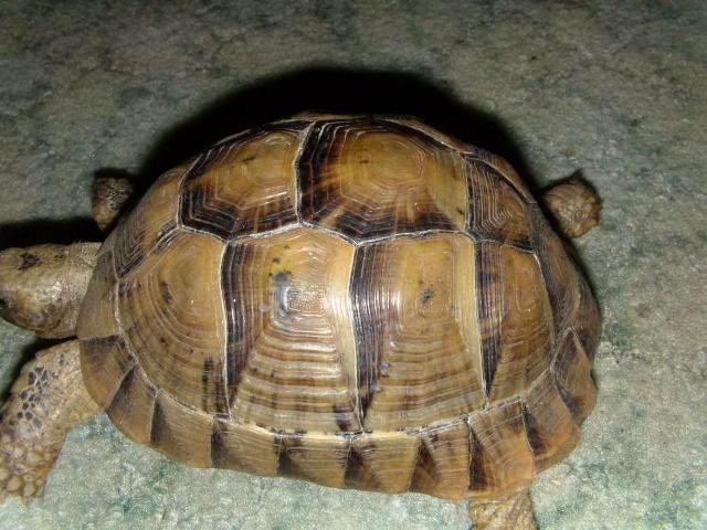 Déterminer l'age d'une tortue? Dvci0014