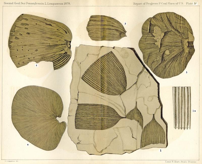 Flore Carbonifère des Alpes Françaises part 1 - Page 2 Atlas-10