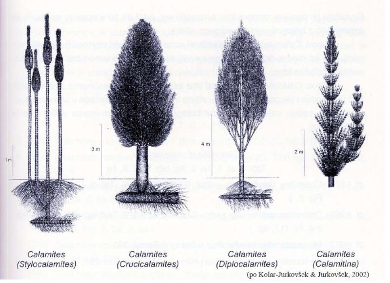 Calamites Schlotheim ,1820.  Annularia sternberg , 1822 .  - Page 5 Calami10