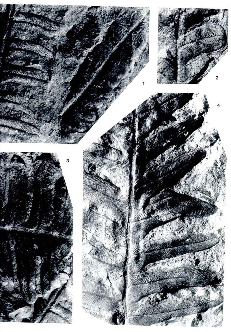 Flore Carbonifère des Alpes Françaises part 1 - Page 2 Img00810
