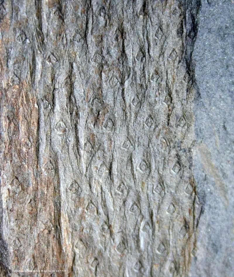 Flore Carbonifère des Alpes Françaises part 1 - Page 2 Img_3523