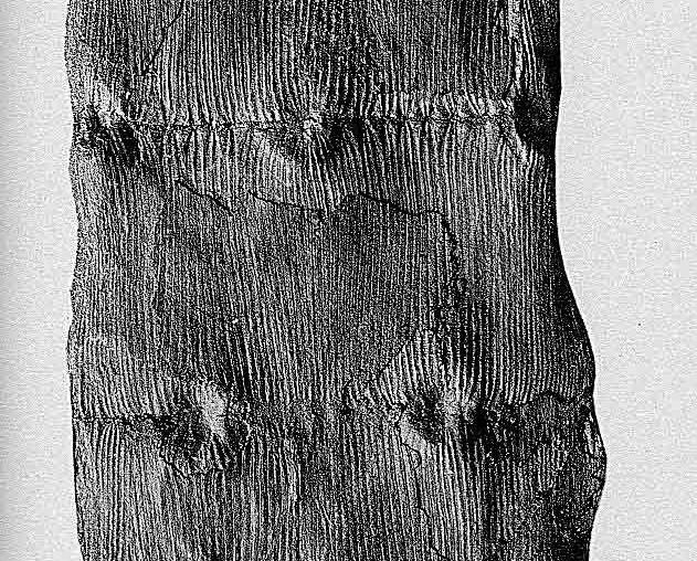 Flore Carbonifère des Alpes Françaises part 1 - Page 2 Pl_11810