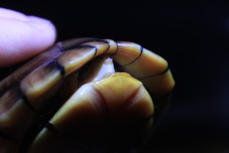 Kinosternon leucostomum Img_4019