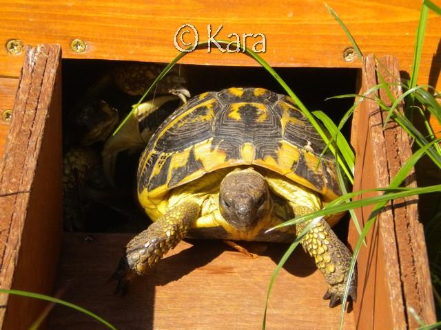Quelle compagnon pour une Graeca Nabeulensis mâle? Image261