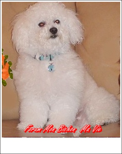 Album photos des bichons Dicky_10