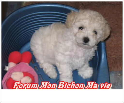 Album photos des bichons Floret10