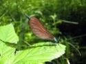 Calopteryx Virgo 18052010
