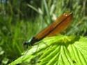 Calopteryx Virgo 18052011