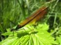 Calopteryx Virgo 18052013
