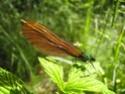 Calopteryx Virgo 18052015