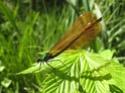 Calopteryx Virgo 18052017