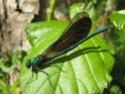 Calopteryx Virgo 19052011