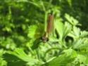 Calopteryx Virgo 19052012