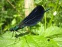Calopteryx Virgo 19052014