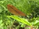 Calopteryx Virgo 19052015
